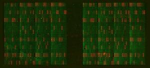 EpiGold™ Histone Peptide Array Data-Fluorescence