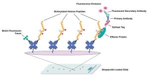 EpiCypher's EpiGold™ Histone Peptide Arrays