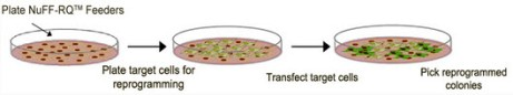Human-NUFF-feeder-cells-for-cellular-reprogramming-schematic