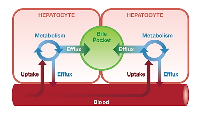 Integrated-hepatic-model
