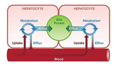 Integrated-hepatic-model