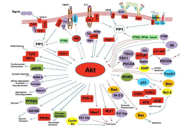 Updated version of the AKT cell signaling pathway Rockland Inc. tebu-bio