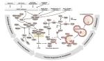 Autophagy pathway