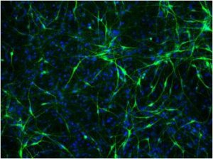 Dopa Neural Cells (XCell Science by tebu-bio)