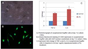 Characterisation Kupffer Cells