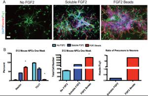 FGF-2 StemBeads by tebu-bio on E12 Mouse NPCs