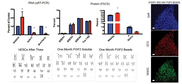 FGF-2 StemBeads by tebu-bio vs soluble FGF-2