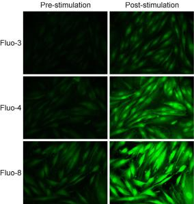 Fluo-8 dye photos compared with Fluo-3 and Fluo-4 dyes on rat embryo fibroblasts stimulated by Ionomycin.