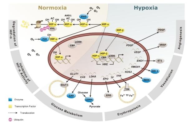 hypoxia pathway