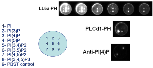 Overlay assays - identification of lipids interacting with given protein by Echelon tebu-bio