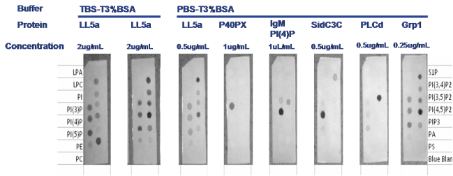 Overlay assays for lipid proteing binding studies by Echelon tebu-bio