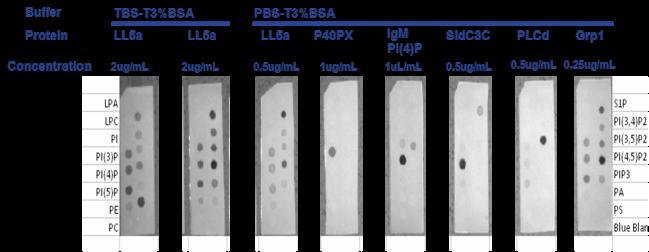 Overlay assays for lipid proteing binding studies by Echelon tebu-bio