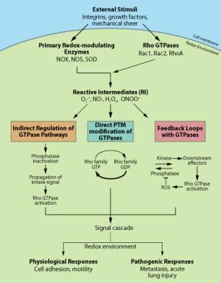 Redox schematic representation and crosstalk between GTPase pathways