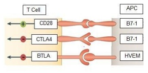Schematic represen,tation of B7-1 / CD28 and B7-1 / CTLA4 Pathways