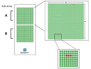 EpiTitan™ Histone Peptide Array layout.
