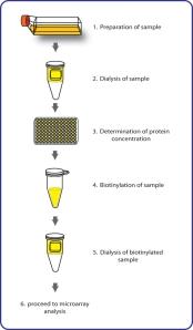 Biotin Label Flow Chart_bis