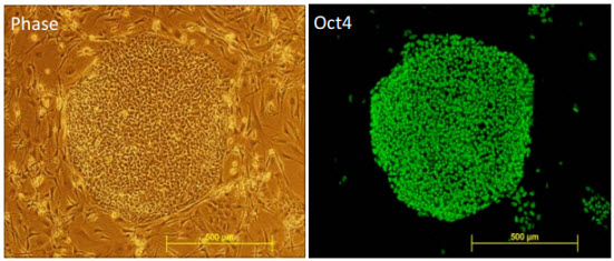 Oct4 Staining. Human ES cells cultured in PluriQ™ SR maintain