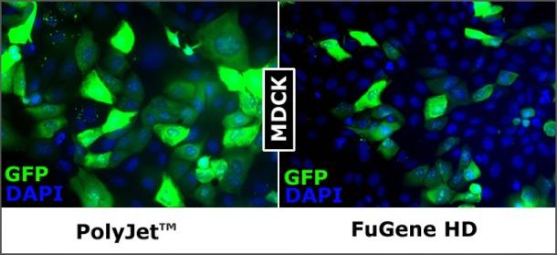 SignaGen tebu-bio Polyjet transfection reagents on MDCK2 cells