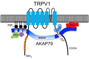 TRPV1 schematic representation. Source painresearchforum.