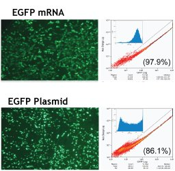 EGFPmRNA_expression