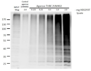 TUBE agarose to detect and purify poly-ubiquitinated proteins - tebu-bio