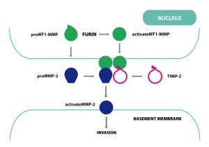 Furin_based_MT1_MMP_activation-01-1
