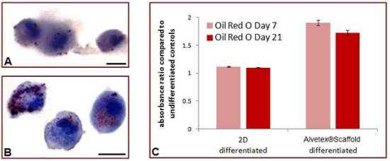 Figure 5: Cell growth on Alvetex®Scaffold enhances adipogenic differentiation of rat MSCS compared to conventional 2D culture. Data show: Oil Red O staining for lipid droplets in cells grown in (A) conventional 2D culture, or (B) 3D culture on Alvetex®Scaffold. Cells were detached from their corresponding growth substrate using trypsin and subsequently cytospun onto glass slides prior to staining; (C) Quantitation of Oil Red O staining for lipids isolated from cells grown in 2D or 3D culture over 21 days. Data represent the average ratio of absorbances at 490 nm between differentiated and undifferentiated cultures, n=3, ±SEM. Scale bars: 10 µm (A,B).