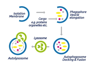 The process of Autophagy
