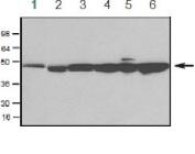 Anti actin Ab - WB Photo