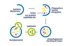 Autophagy process - Blog Thumbnail