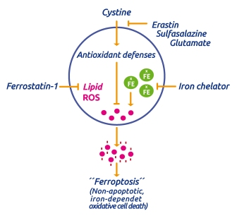 Ferrostatin and mechanism of Ferroptosis. source: tebu-bio.