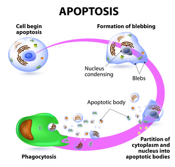 Apoptosis | tebu-bio's blog