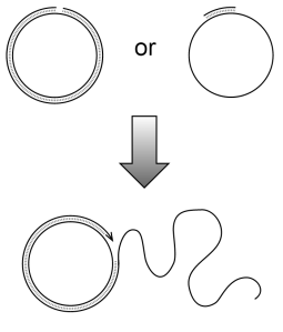 Diagram illustrating rolling circle DNA replication (credit: credit Madeleine Price Ball)