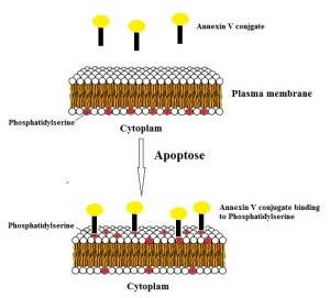 Annexin V assay principle - tebu-bio