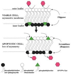 Apopercentage principle - tebu-bio