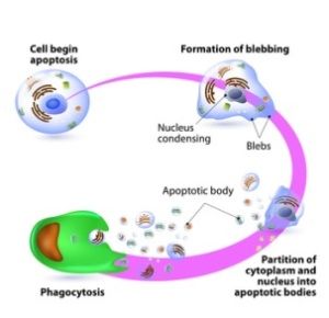 Apoptosis and cellular apoptotic events. Source: tebu-bio