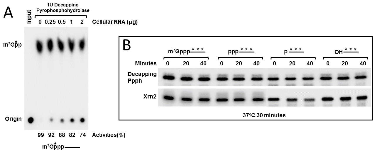 Decapping_ppph