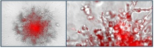MMP-14 activity assay with EnSens technology in live-cell imaging. Enzium BioTek tebu-bio