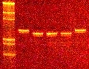 Recombinant proteins can decap m7GpppRNA (26nt).