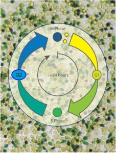 Cell Clock assay Biocolor - phases