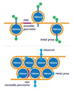 Nucleosome and chromatin condensation - tebu-bio