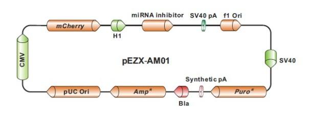pEZX-AM01