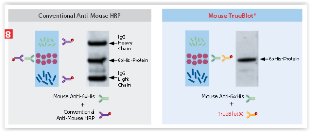 IP/WB data with Mouse TrueBlot® vs. Conventional Anti-Mouse HRP data.