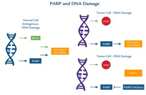 PARP1 and DNA damage