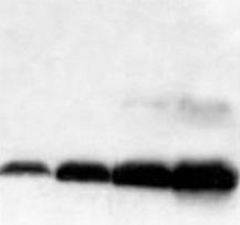 What the datasheet of an antibody really means - tebu-bio