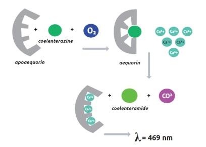 Aequorin system
