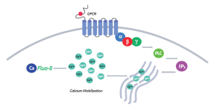 GPCR - Calcium mobilisation
