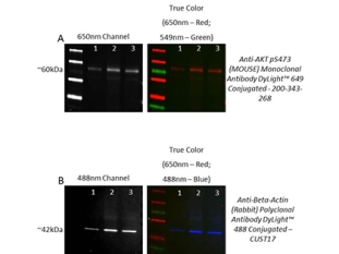 Western Blot comparison of Rockland's Revitablot™ Western Blot Stripping Buffer using Fluorescent labeled Primary Antibodies from tebu-bio.