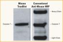 Mouse TrueBlot® Western Blot improvements Rockland tebu-bio