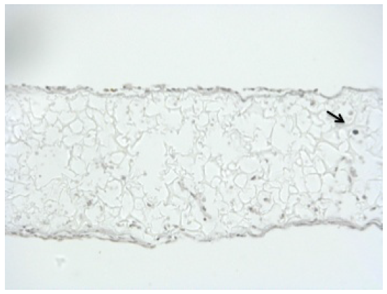 Tunel staining of OCY454 in Alvetex®Scaffold. 10 μm sections of paraffin embedded scaffolds were stained by Tunel. Tunel assay (IHC) in cells cultured for 7 days in flight certified bioreactors. The extremely low level of Tunel positive cells (black staining) present under these conditions indicates a very low level of cell death and that cells can be maintained in culture conditions necessary to fly cells to the International Space Station.